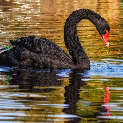 A picture of a Black Swan