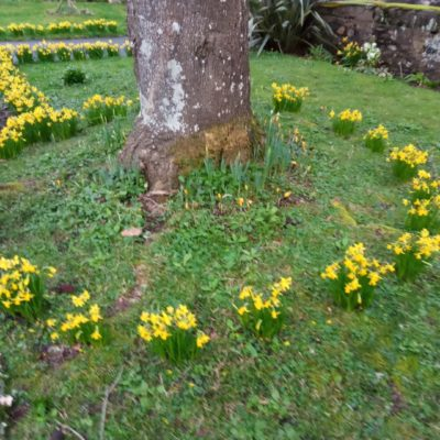 Daffodils at the War Memorial Grounds